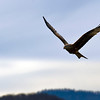 Red Kite, Hometown, Switzerland