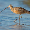 Long-billed Curlew,  Photo captured at Fort De Soto State Park