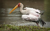 Mount Meru - Yellow-Billed Stork