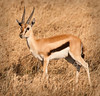 Serengeti - Thompson's Gazelle