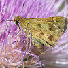 Another female (I think) whirlabout skipper on a thistle, and this thistle has lots of pollen showing.