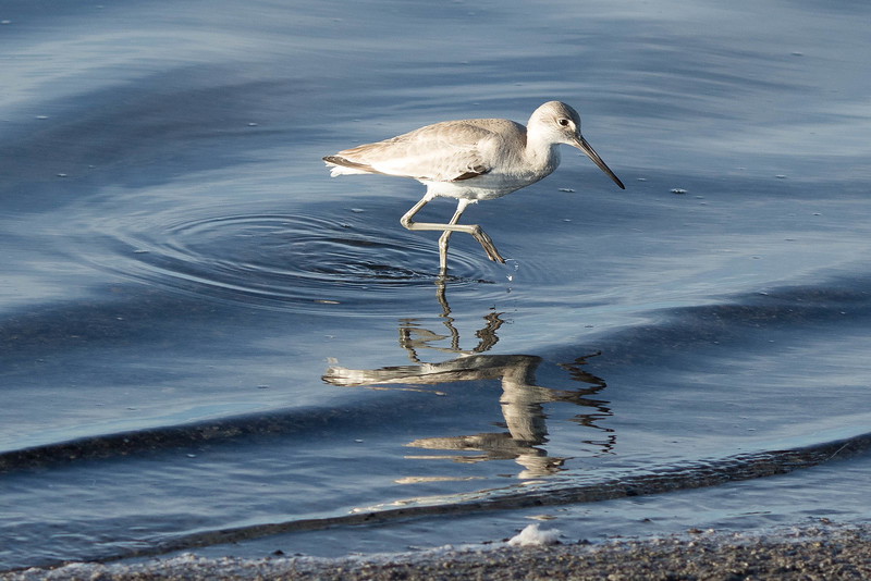 Shorebird foraging at South Bay Salt Works; San Diego Bay, 2/02/2015