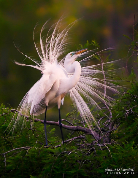 Great White Egret ~ Audubon Swamp Garden