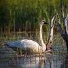 Trumpeter Swan, pond in Seward Alaska