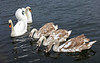 Feeding Time for the Swans in Cardwell Bay at Gourock - 1 February 2014