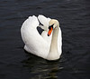 Swan in Cardwell Bay, Gourock - 1 February 2014