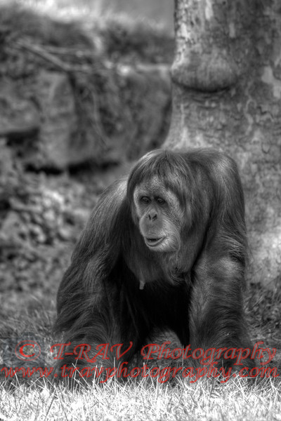 orangutan in deep thought 6399BW