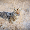 Coyote Stance<br /> Antelope Island State Park<br /> Utah<br /> © 2014