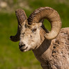 Bighorn Sheep Ram<br /> Banff National Park<br /> Alberta, Canada<br /> © 2014