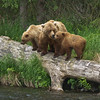 Brown Bear Family<br /> Sow & her 2 cubs on Russian River<br /> Cooper Landing, Alaska<br /> © 2011