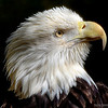 Bald Eagle ~ Brookgreen Gardens Murrells Inlet, South Carolina