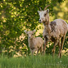 Bighorn Sheep on a Trot<br /> Banff National Park<br /> Alberta, Canada<br /> © 2014