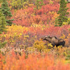 Cow Moose Feeds on Autumn Foliage Denali National Park Alaska © 2012