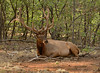 Cud Time.<br /> A bull elk with antlers in velvet at the Grand Canyon is bedded in the morning shade to chew his cud.