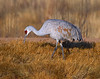 Sandhill Crane Isolation