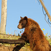 A one-eyed cinnamon colored black bear.  Yellowstone National Park.