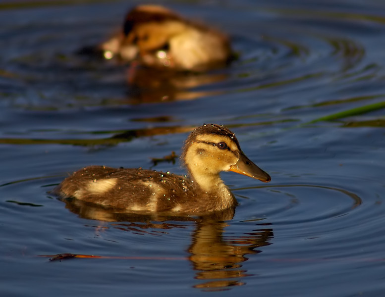 I Love Baby Ducks Fresh as the Morning Dew