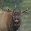 Bull Elk, Yellowstone National Park, WY