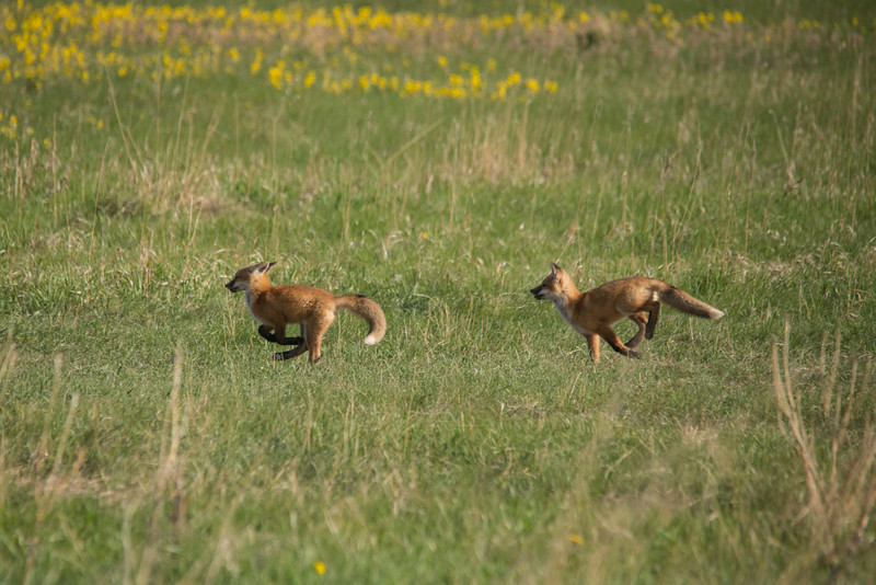 Red Fox pups playing