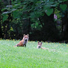 Mother and young Fox