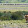 Panthera leo nubica & Connochaetes taurinus