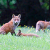 Mother Fox and young