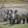White rhinoceros (Ceratotherium simum) mother and child