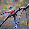Elegant Trogon Sighting!