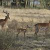 Thomson's gazelle (Eudorcas thomsonii) family