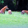 Mother Fox and Kits