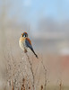 Winter Male American Kestrel