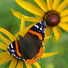Red Admiral, Indiana