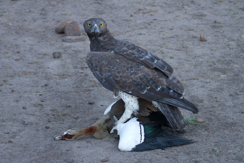 Martial eagle with Egyptian goose