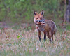 red fox with rabbit, Cold Harbor in April, Mechanicsville, VA