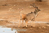 At Chudop Waterhole, bull and cow Greater Kudu (Tragelaphus s. strepsiceros) looked in all directions for possible dange while drinking in the early morning. Etosha National Park, ), Namibia