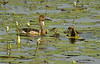 Fulvous Whistling Duck with duckling