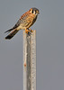 American Kestrel (Male)