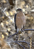 Coopers Hawk  This image was taken about 20 miles north of Bosque del Apache at the Bernardo Wildlife Management Area in  Socorro County, New Mexico