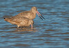 Marbled Godwits