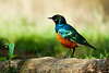 Dreifarben-Glanzstar / Superb starling / Lamprotornis superbus