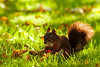 Eichhörnchen / Eurasian red squirrel / Sciurus vulgaris