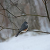 Tufted Titmouse in a Snowstorm