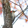 red bellied woodpecker 4/12/14