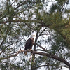 Eagle at Woodlake