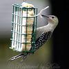 Juvenile Red-bellied Woodpecker