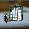 Little Butterball at the Suet Basket.  Male Downy Woodpecker