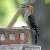 Juvenile Female Red-bellied Woodpecker