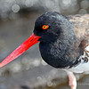 Oyster Catcher with peculiar pupil