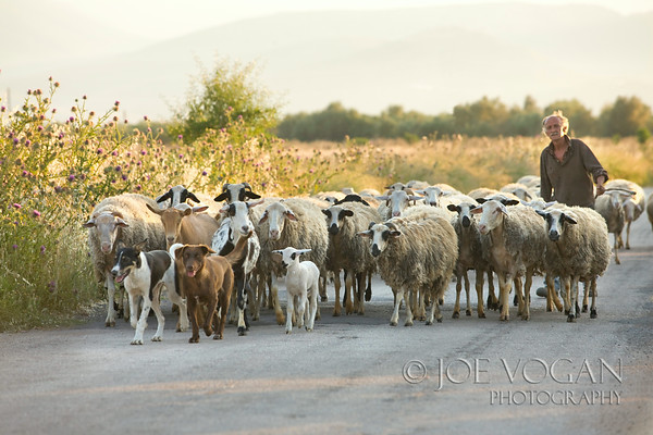 Sheep and Sheep Herder in Road, Peloponnese, Greece