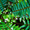 Fern with pretty white flowers